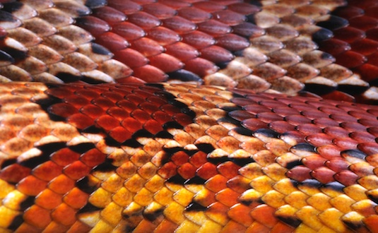 Close Up Skin of a Cornsnake